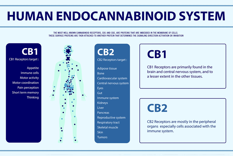 dispensr-article-cbd-buyers-guide-endocannabinoid-system