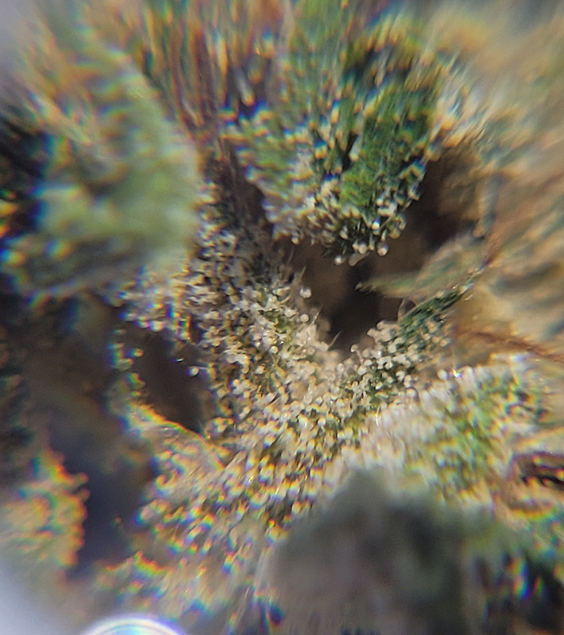 a macro shot of CBG dominant dried flower covered with a lush carpet of trichomes