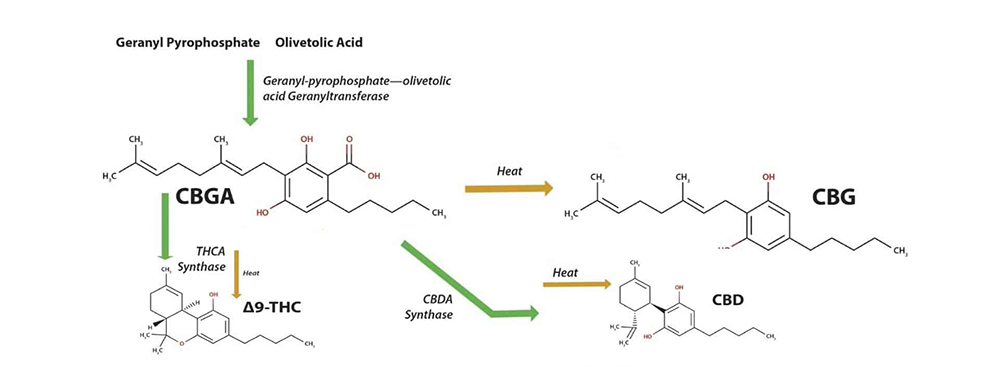 how CBGA synthesises into the other cannabinoids like THC, CBD, CBN and CBC