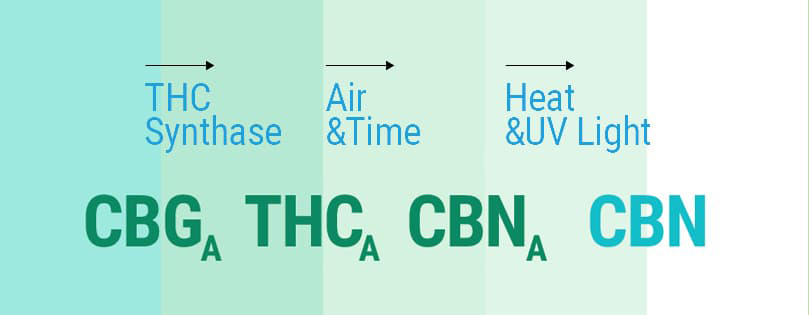 How THC is converted to CBN
